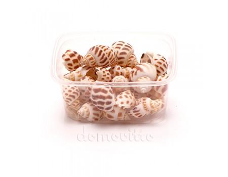 Ракушки пятнистые малые, 75 гр