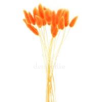 Лагурус оранжевый для сухих букетов, 20 шт