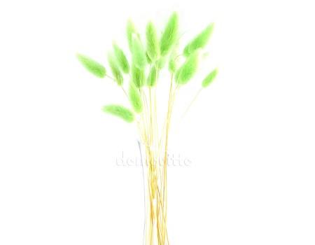 Лагурус салатовый для сухих букетов, 20 шт